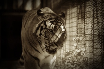 The Tiger In Cage