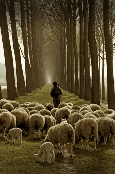 Shepherd And Sheep The Now Word